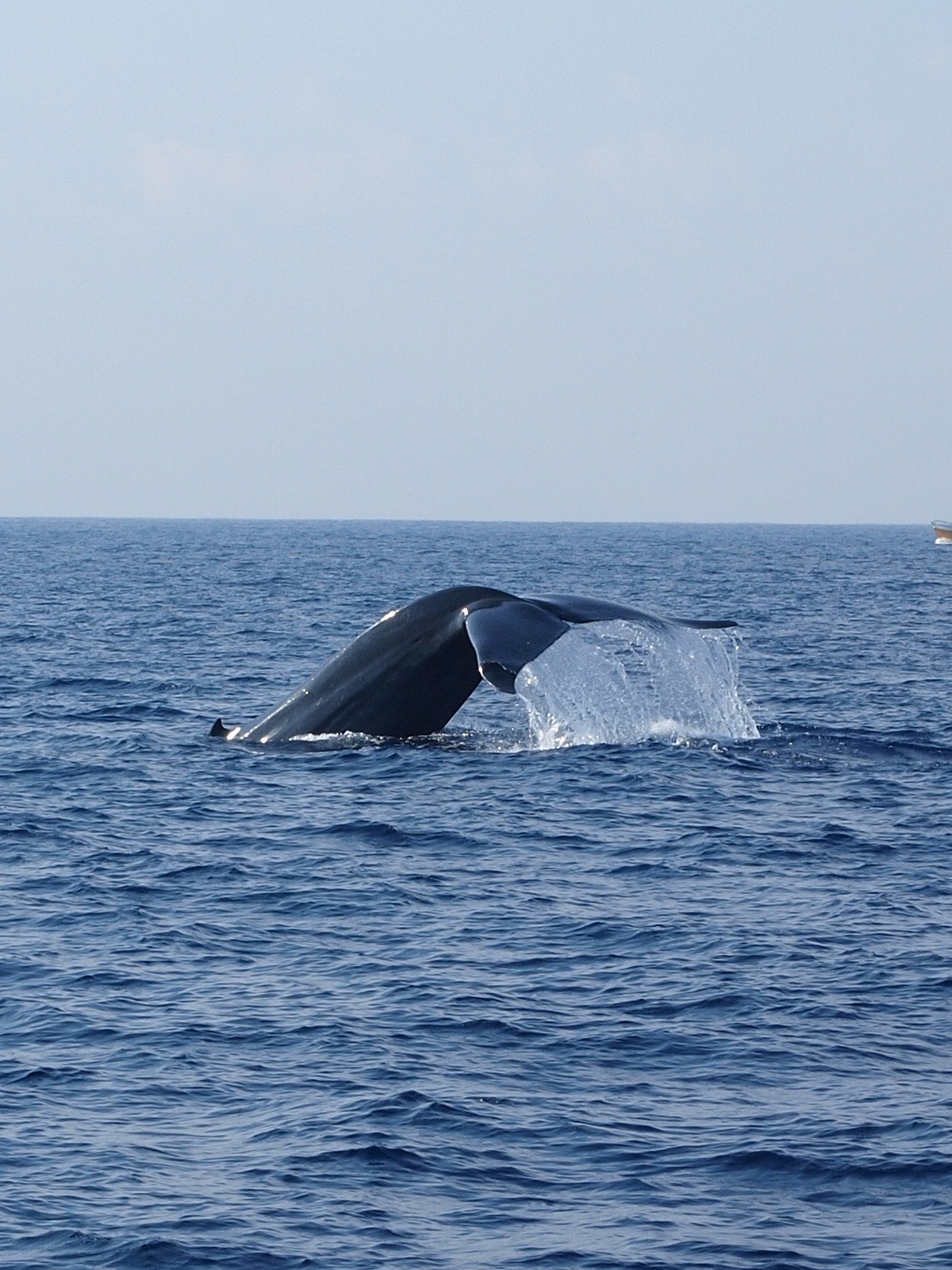 Blue whale off the coast of Sri Lanka. Photo courtesy Mark Clayden.