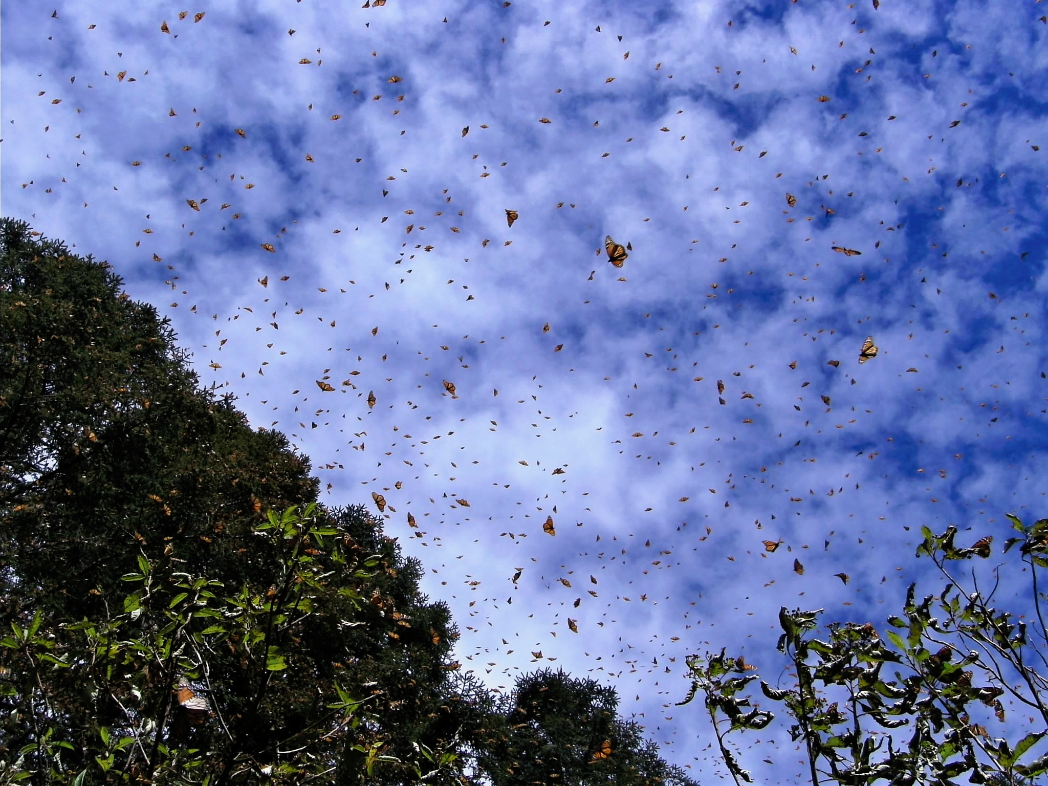 Annual monarch butterfly migration. Photo courtesy Mark Clayden.