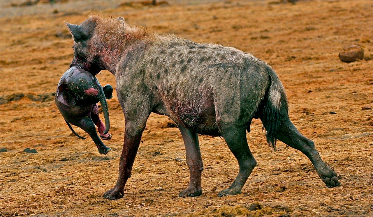 A hyena eviscerates an unborn fetus from a dead elephant - Chobe National Park, Botswana. ©Bruce Colin Photography.