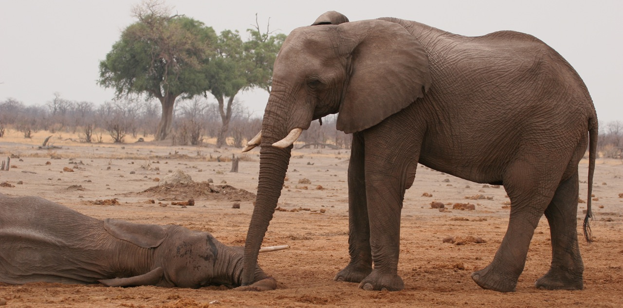 Elephant mourning dead companion - Chobe National Park, Botswana. ©Bruce Colin Photography.