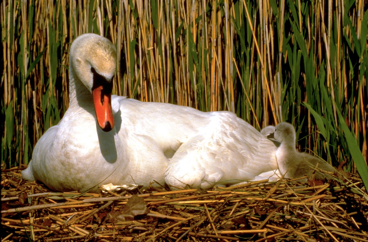 Mute swan and cygnet - Noyack Bay, Long Island. ©Bruce Colin Photography.