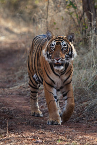 Photo of tiger in India's Ranthambhore National Park. (Photo courtesy Adam Bannister.)