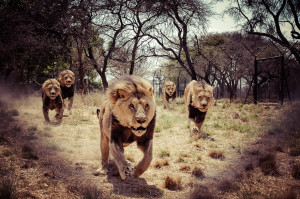 The Five Boys - Client Lion Feed