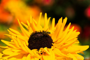 Bees in the flower gardens at Stanley Park