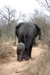Elephant and Calf Walking Away