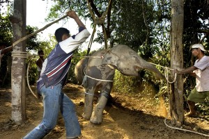 The brutal reality of phajaan. If you ride elephants in Asia this is what your money sanctions.