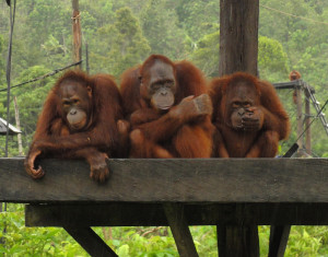 Samboja Lestari, an orangutan & sun bear rescue center in Borneo. Orangutans don't like to get wet, so these three were huddling together under some planks of wood to stay dry. (Photo courtesy Barb Hautanen.)