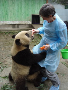 Bifengxia Panda Base near Ya'an, China. For a donation, volunteers were able to spend a short time interacting with the young pandas. (Photo courtesy Barb Hautanen.)