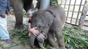 Elephant Nature Park in Chiang Mai. I am bonding with Navaan, 3 months old and 400 pounds of fun. (Photo courtesy Barb Hautanen.)