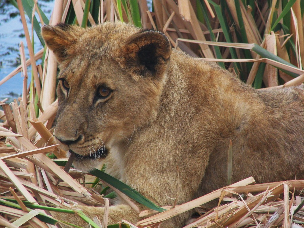 This is Ariel on my first ever lion walk. Her and her sister Ashanti were extremely playful and affectionate females and by the end of the walk I had totally fallen in love. (Photo courtesy K. Lynas.)