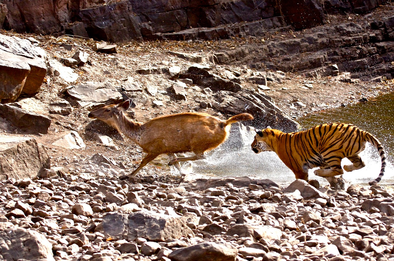 Royal Bengal tigress pursuing Sambar deer - Bandhavgarh National Park, Rajasthan, India. ©Bruce Colin Photography.