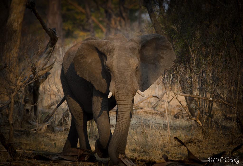 The asian elephants life span