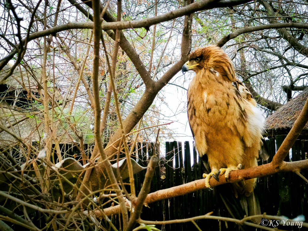 Tawny the eagle