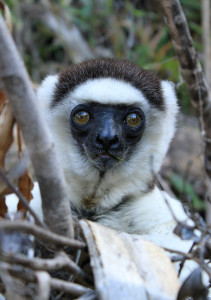 The Verreaux's Sifaka (lemurs) of Madagascar are incredible and completely unique to this area. (Photo courtesy Adam Bannister.)