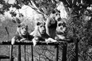 Gum Tree Lions