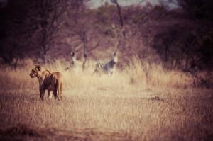 Laili stalking zebra