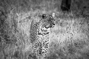 Karula the leopard
