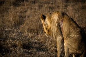 Injured male lion