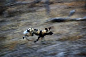 Wild dogs!