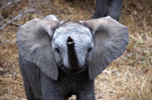 Baby oliphant!