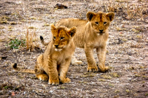 Two of the younger cubs from the Honeymoon Pride.