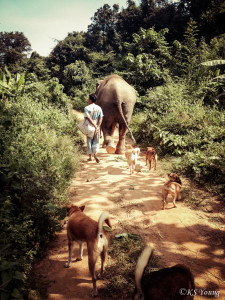 Morning walk at BLES with Lotus, her mahout, and the usual canine entourage.