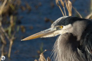 Great Blue Heron at Nisqually Wildlife Refuge