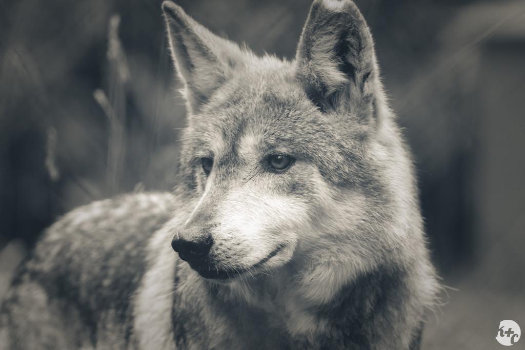 Wolf haven волчье убежище игровой автомат теория ставок